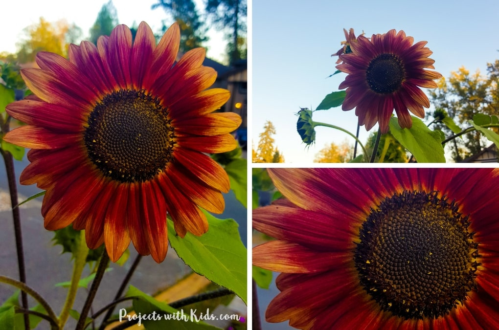 autumn sunflower craft with oil pastels projects with kids